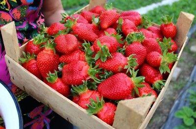 Fraise Nastenka F1 à gros perpétuel rouge Ukraine 15 graines FARMER Idée