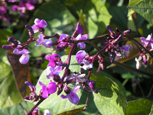 Purple Hyacinth Bean Seeds// Ruby Moon Edible Seeds//Decorative plantWITH TRACKING