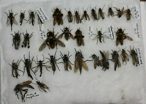 Insect-Diptera-Robber-Fly-34-Asilidae-spp-lot-Primorye-Reg-Russia