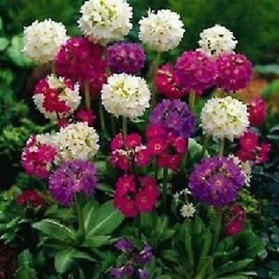 25+ RONSDORF STRAIN PRIMULA FLOWER SEEDS MIX / SWEET SCENT / SHADE PERENNIAL