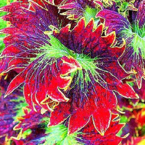 Guarantee Rare Coleus Bonsai Foliage Plants seeds 30pcs Perfect Colorful BD838H7