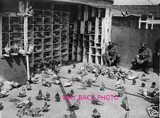 CIRCA 1918 WORLD WAR ONE PHOTO - BRITISH SOLDIERS FEEDING HOMING PIGEONS 5 by 7