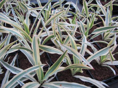 Bright Star Yucca gloriosa /'Walbristar/' 20°C Winterhart Pflanze