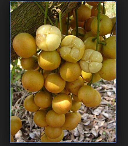 *UNCLE CHAN* Burmese Grape Baccaurea ramiflora Sweet fruit FRESH my garden 2019