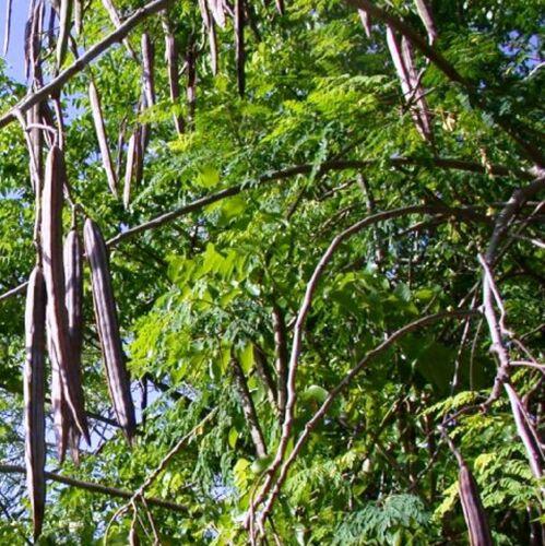 25 Moringa oleifera Wunderbaum Meerrettichbaum Herkunft aus Thailand .659812