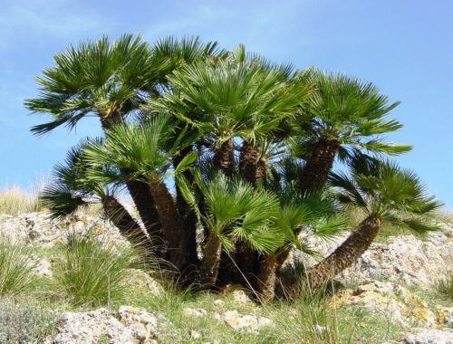 Avec nain palmiers est votre jardin de comme un autre continent!