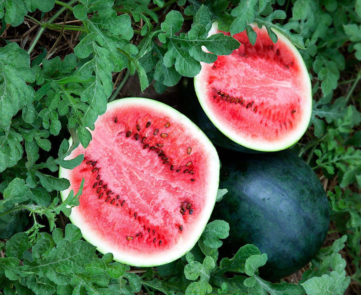 Seeds Watermelon Sugar Ogonek Red Vegatable Fruit Rare NON-GMO Organic Heirloom