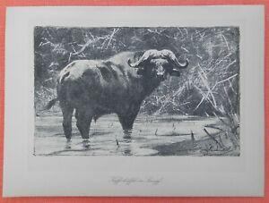 Grands Buffles Dans Le Marais Noir Buffle Wilhelm Kuhnert Afrique Lithographie 1920-afficher Le Titre D'origine