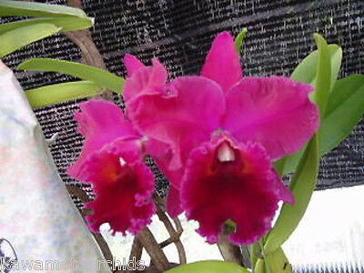 270) Blc. Yonges Island 'Newberry' Collector's Item! Large Flowers! Fragrant!