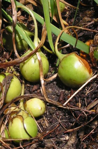 10 Seeds the Mandrake Mandragora officinarum Mandrake root