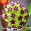 Hoya-Flores-Potted-Flowers-Bonsai-Hoya-Plants-Orchid-Home-Garden-100-Pcs-Seeds-V thumbnail 1