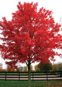 Brandywine Red Maple Acer Rubrum Brandywine Ebay