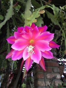 CACTUS-ORCHID-Pegasus-Epiphyllum-hybrid