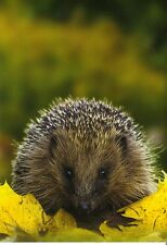 Ansichtskarte:  Igel sitzt auf Herbstlaub - little hedgehog - hérisson