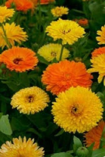 Flower Calendula officinalis - Pacific Beauty Mix - 5000 Seeds Large Pack