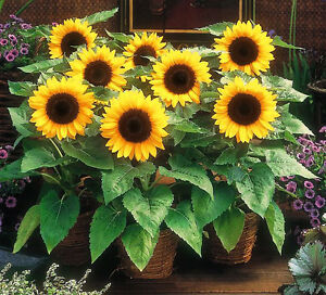 SUNSPOT-DWARF-SUNFLOWER-50-seeds-Helianthus-Annuus-Yellow-ornamental-flower