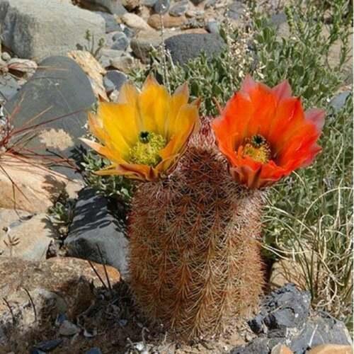 20Pcs Texas Rainbow Hedgehog Cactus Seeds Echinocereus Dasyacanthus Seed