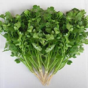 Coriander Green Aroma - 3000 seeds - Herbs