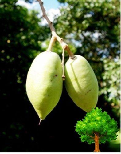 *UNCLE CHAN* 10 SEED THAI NATIVE OLIVE Elaeocarpus hygrophilus STUNNING FLOWER