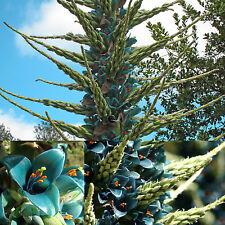 Außergewöhnlich•Riesenbromelie•12 Samen/seeds • Puyaberteroniana•Turquoise Puya