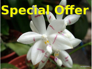 Special-offer-Rare-orchid-Phalaenopsis-species
