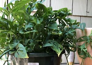 Details about Monstera adansonii Swiss Cheese Plant x1 Cutting