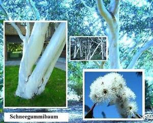 Schnee Gummibaum Für Den Garten Winterhart Exotische Blühende Hecken