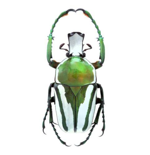ONE REAL RANZANIA RHAMPHORRHINA SPLENDENS GREEN SCARAB BEETLE AFRICA