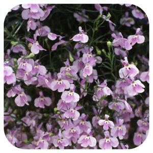 Lobelia Trailing Lilac Fountain Mini Plug Plants X 24 For Potting
