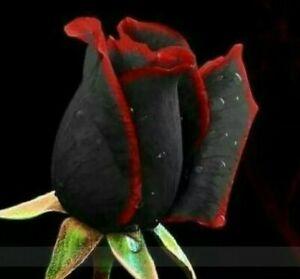 200pcs Rare rose seeds Black Rose Flower with Red flower border seeds Hot