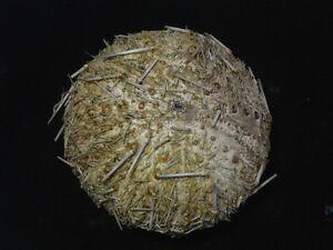 Formosa/shells/Sea urchin 85mm.Rare..Taiwan