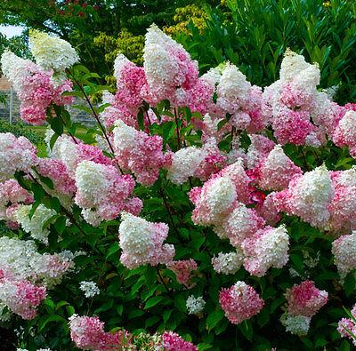 2L Pot Hydrangea Paniculata Vanille Frais Stunning Shrub Garden Plants