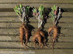 Delosperma-bosseranum-ice-plant-seeds-viable-fresh-from-our-own-plants