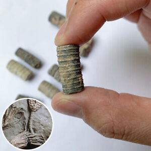 Cretaceous-Crinoid-Sea-Lily-Fossils-Specimen-Stone-Crinoid