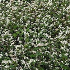 Kings Seeds - Green Manure - Buckwheat - pack for 15 sq.m