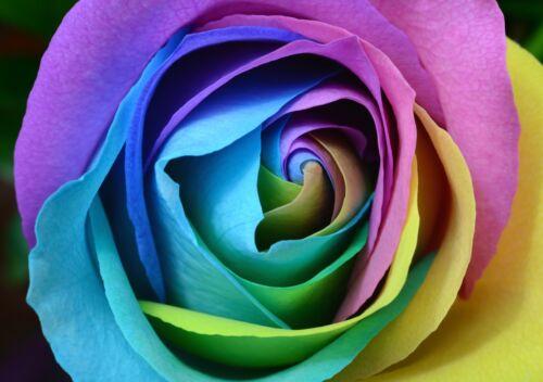Art Picture Poster Photo Print 1FLR Rainbow Rose