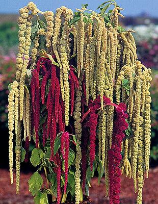 Love Lies Bleeding Seeds, Farm Mix, Tassle Flower, Amaranthus, Heirloom 50ct