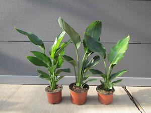 Strelitzia-reginae-Paradiesvogelblume-Pflanze-30-50cm-Strelitzie