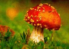 FLY AGARIC  MAGIC MUSHROOM PAINTING A3 ART PRINT PHOTO POSTER YF6034