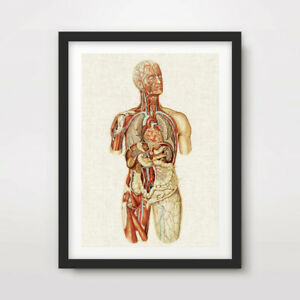HUMAN-ANATOMY-MEDICAL-DIAGRAM-ART-PRINT-Poster-Antique-Wall-Chart-Illustration