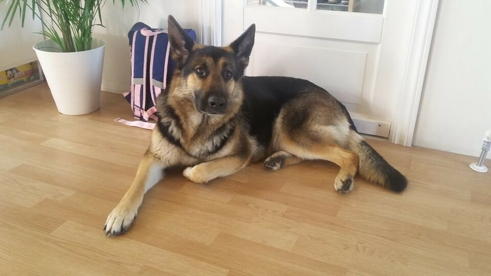 Schæfer / Hvid Schweizisk Hyrdehund, hund, 4 år