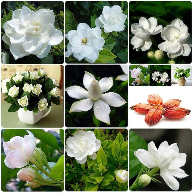 50 pcs cape jasmine gardenia cape jasminoides fragrant white shrub 50 pcs cape jasmine gardenia cape jasminoides fragrant white shrub flower seeds mightylinksfo