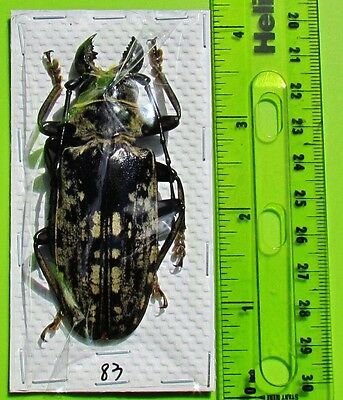 "Gigantic Longhorn Beetle Acanthophorus maculatus Male 80mm 3+"" FAST SHIP FROM US"