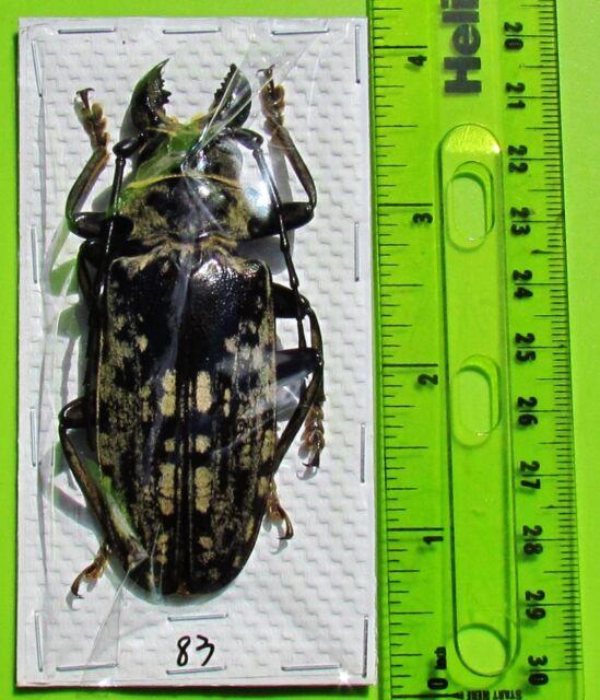 "Gigantic Longhorn Beetle Acanthophorus maculatus Male 80mm 3+"" FAST SHIP FROM US"