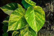 "Golden Devil's Ivy - Pothos Ivy - Epipremnum aureum - 4"" Pot"