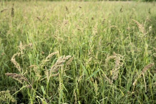App 5000 seeds Japanese Millet Forage crop ground cover Bird Seed