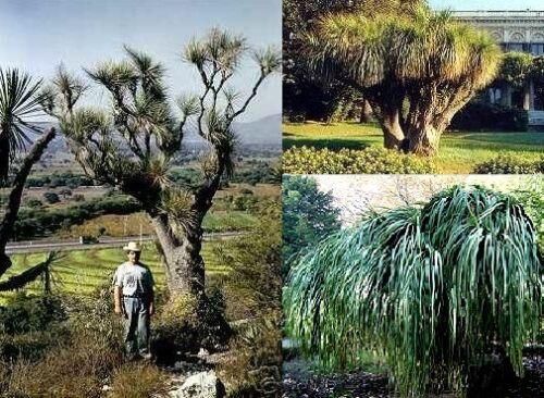 winterhart Samen .. Hübscher Grasbaum Agaven-Palme für drinnen /& draussen