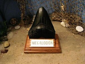 megalodon shark tooth 5 fossil display stand engraved plaque tooth