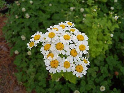 100 Organic Tanacetum Parthenium Seeds - Feverfew - nonGMO - Open Pollinated