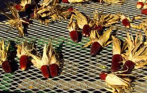 ROTER-ERDBEERMAIS-100-Samen-fuer-Popcorn-oder-auf-den-Grill-Mais-rot